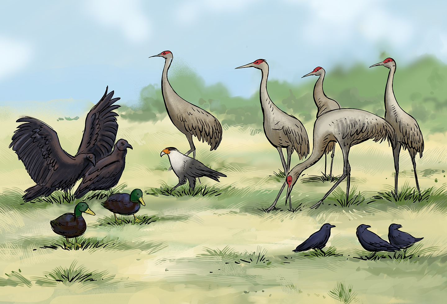 A field of a dozen birds of various types: there are sandhill cranes, mallards, black vultures, crows, and even a single hawk.