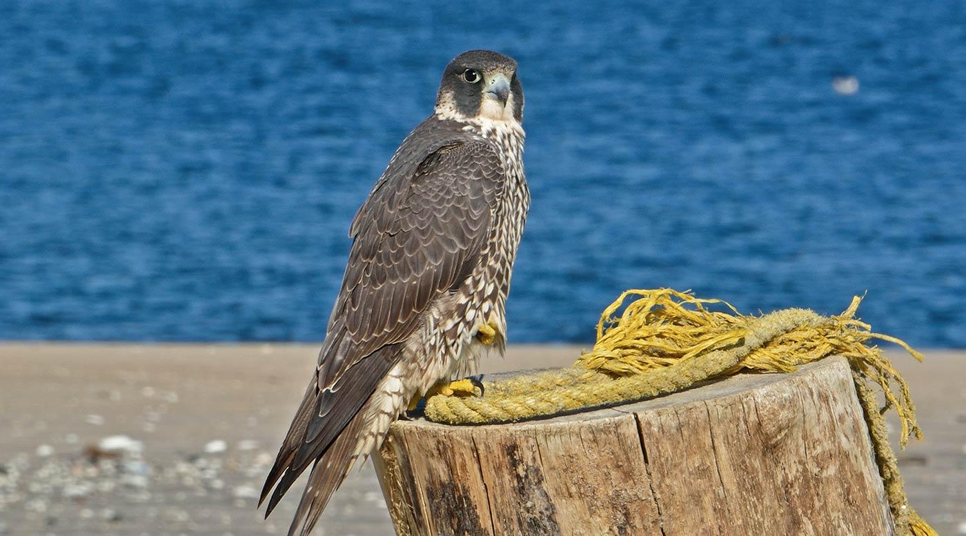 Spinus Peregrine Falcon