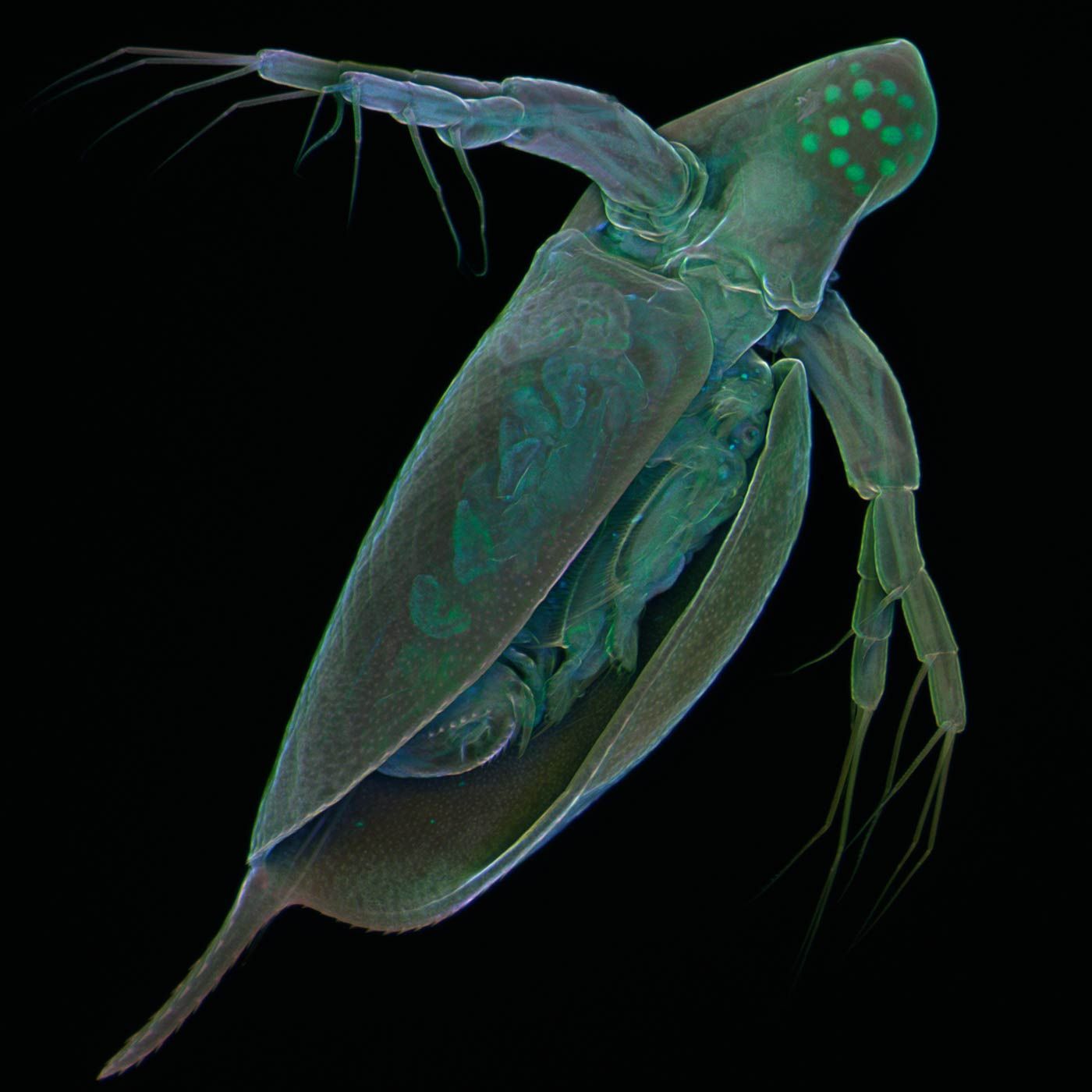 The freshwater crustacean Daphnia